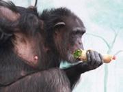 天王寺動物園で節分イベント チンパンジーに恵方巻き