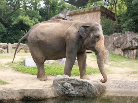 アジアゾウの画像 p1_32