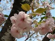 荒川に咲くさくらの花びらで押し花作り
