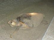関西国際空港対岸でウミガメの産卵-11年ぶり・3度目の確認