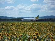 "Millions of Sunflowers Bloom Around Memanbetsu Airport - ""Blooming Information"" at Ozora Town Site"