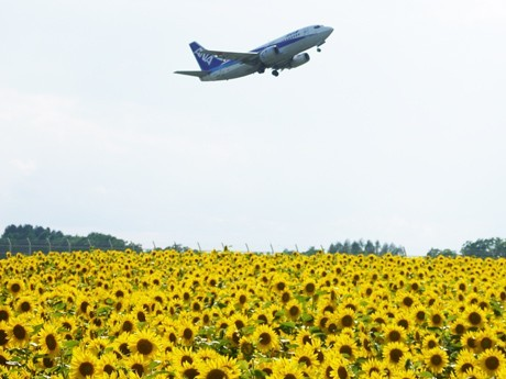 Over 1 Million Sunflowers on 6 Hectares around Memanbetsu Airport Come into Bloom in Stages