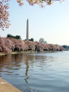 Narita Gives Cherry Blossom Trees to D.C. Airports Authority, Planted at Reagan Int'l