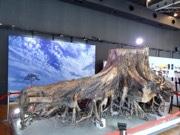 赤坂サカスに「奇跡の一本松」 防腐処理した根元を展示