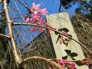 乃木神社で「桜茶屋」 名物・しだれザクラの下で手造り甘酒など提供