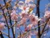 赤坂サカスの河津桜が見頃 都心にも一足早い「春」