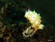 バリ島東部でウミウシの産卵シーズン到来 ダイバーを魅了