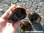 びわ湖周辺で市民参加型「タニシ調査」始まる-琵琶湖博物館が実施