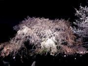 六義園で「しだれ桜と大名庭園のライトアップ」 期間限定「さくら茶屋」も