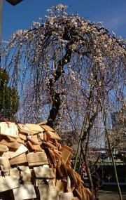 湯島天神で「梅まつり」 全体的に三分~七分咲き「そろそろ見頃」
