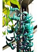 翡翠のような青緑色の花「ヒスイカズラ」、千葉・フラワーミュージアムで開花
