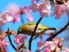 春の訪れ「河津桜」が見頃 稲毛海岸駅前イオンマリンピア広場が桜色に
