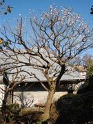 調布・実篤記念館で観梅のつどい コンサートと思い出語る講座