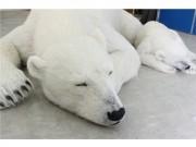狛江で1340万円の超リアル「シロクマ親子」 動物保護も訴え、発売1カ月で3体受注