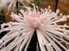 調布・神代植物公園で「菊花大会」 丹精込めた作品ずらり