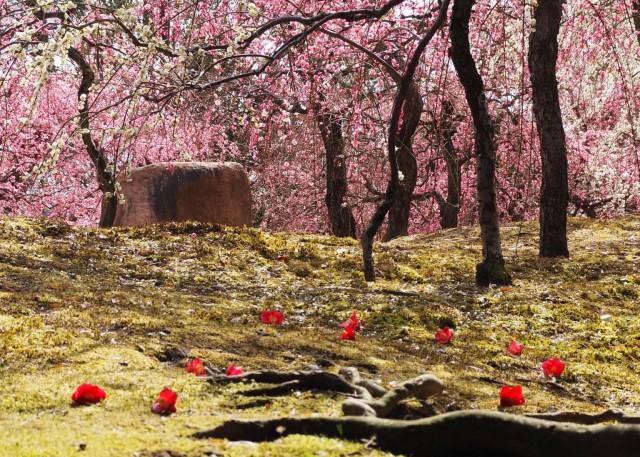 京都・城南宮の「しだれ梅」が見頃 「落ちた椿の花としだれ梅」の撮影名所も人気
