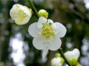 梅の名所・横浜三溪園で「観梅会」 初音茶屋の麦湯無料接待も