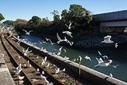 浜松の「浜名湖佐久米駅」にユリカモメの大群 頭の上に止まるシーンも