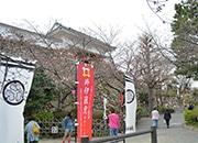 浜松の桜が満開間近 今週末が見頃に