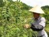 奥飛騨温泉郷で「サンショウ」収穫ピーク 谷あいの山里にさわやかな香りの風