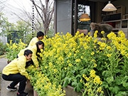 司馬遼太郎記念館、命日前に菜の花装飾 街中にも花の輪広がる