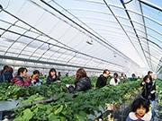東大阪・長田でイチゴ狩りイベント 「章姫」「紅ほっぺ」1時間食べ放題