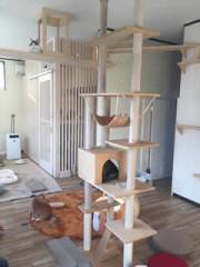 姫路・広畑に猫カフェ 家猫「メイクーン」5匹スタッフに、飼い方のアドバイスも
