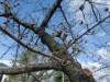 枚方市が市内14カ所の桜の名所の開花情報を発表 現在は「つぼみ」