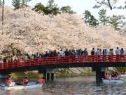 弘前さくらまつり、満開の開幕 週末の人出は65万人