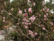 自然あふれる香港郊外で桜が咲く 梅は満開を迎え