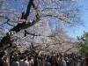 「千代田のさくらまつり」今月28日から 桜の名所巡る無料バスも