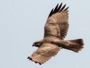 サシバやハチクマ、ミサゴなど、上昇気流で伊勢湾横断するタカ約100羽観察