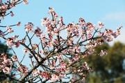 伊東の四季の花公園でカンザクラが見頃に 例年よりも半月以上早く