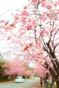 伊豆高原のオオカンザクラ、満開に 「伊豆高原桜まつり」開催迫る