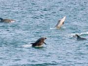 桜島フェリー、野生イルカの目撃情報を募集 「イルカはいるかな?」