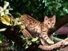 猫ネタはやっぱり強かった 烏丸経年間PV1位はベンガルネコとの触れ合い施設