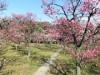 梅小路公園の梅林が見頃に 「梅まつり」開催へ、剪定講座も
