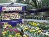 川越・喜多院「菊まつり」に約500作品 見頃は11月第2週ごろ