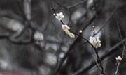 井の頭公園の梅園の梅、ほころぶ