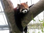 神戸どうぶつ王国に新エリア「アジアの森」 レッサーパンダなど公開