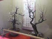 高知・料亭「得月楼」で盆梅展 代々作り育てた秘蔵の盆梅を展示