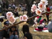 港北区の花「梅」テーマの写真コンテスト、大倉山観梅会など区内撮影の写真募集