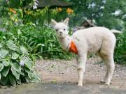 赤ちゃんアルパカやアンゴラウサギなど珍しい動物が登場 ハウスクエア横浜に移動動物園