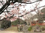 都筑・淡島社に春の訪れ 早咲きの桜が見頃