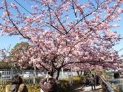 大横川の河津桜が見頃に 区民寄付の花も咲く