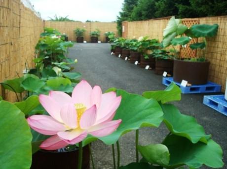 咲くやこの花館で「蓮展」-原種から園芸品種まで200点展示