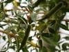 フニーバオバブ、間もなく開花 咲くやこの花館でナイトツアー