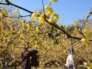 町田・忠生公園の「ロウバイ」満開 暖冬で開花早まる