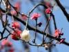 町田天満宮の紅白梅が早咲き 「白加賀」開花も