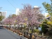 旧松戸宿坂川沿道で「河津桜まつり」 早咲きの桜を楽しむ